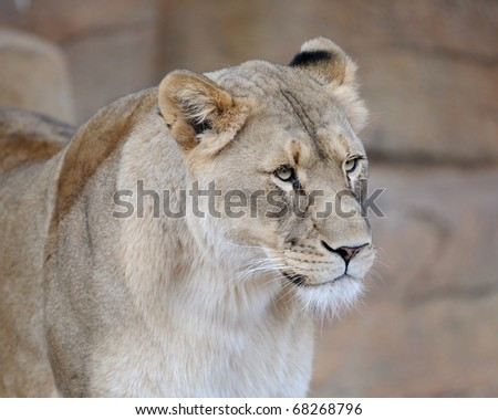 Female African lion (Panthera leo) portrait