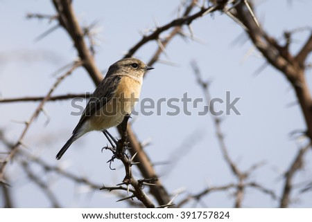 Female African Stone chat