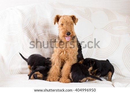 Female Airedale  dog with puppies - stock photo