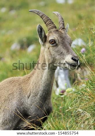 Female alpine ibex (capra ibex) or steinbock portrait in Alps mountain, France - stock photo