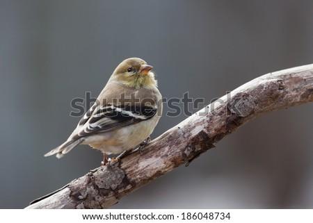 Female American Goldfinch - stock photo