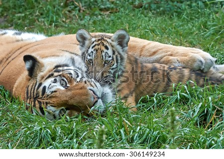 Female Amur Tiger (Panthera tigris altaica) hold and protect her little cub