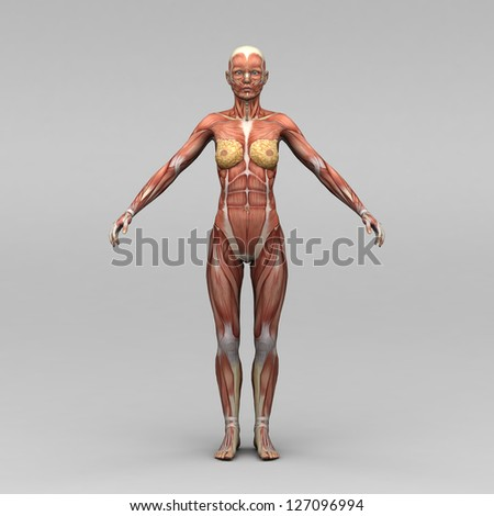 Female anatomy and muscles