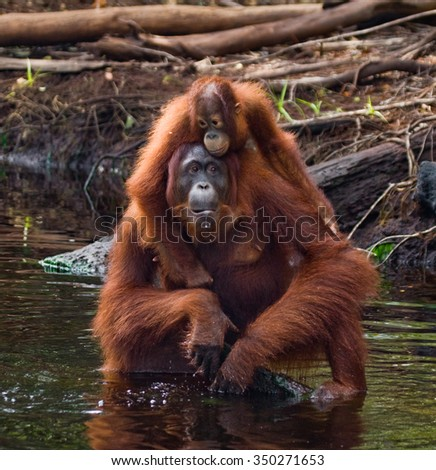 Female and baby orangutan drinking water from the river in the jungle. Indonesia. The island of Kalimantan (Borneo). An excellent illustration.