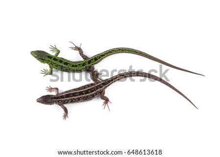 Female and male of sand lizard (Lacerta agilis) isolated on white background