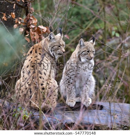 female and young cub of eurasian lynx,Gemrany