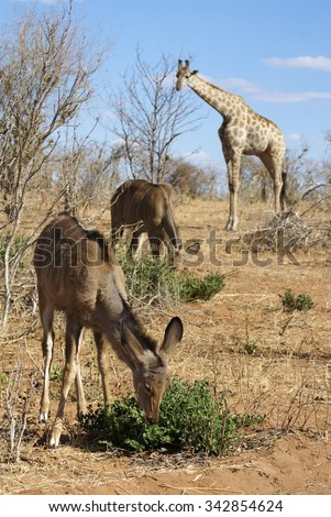 Female and young kudu grazing in foreground, with giraffe in background (blurred)