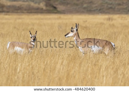 Female and young pronghorns (Antilocapra americana) in the highland prairie, Grand Teton National Park, Wyoming, USA