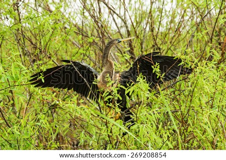 female anhinga or snake bird attempts to dry its wings in the Everglades in the rain - stock photo