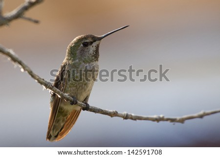 Female Anna's Hummingbird - stock photo
