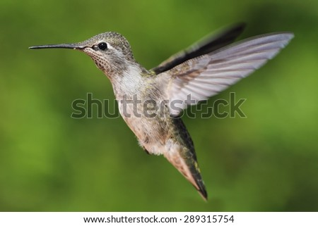 Female Annas Hummingbird (Calypte anna) in flight with a green background - stock photo