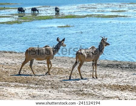Female antelope Kudu (Tragelaphus strepsiceros) in Chobe National Park - Botswana, South-West Africa - stock photo