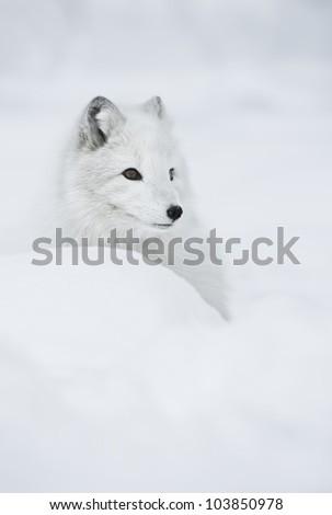 Female Arctic Fox in her full winter coat. - stock photo