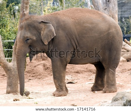 female asian elephant