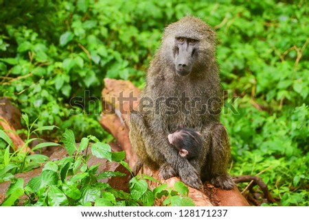 Female baboon tends her cub in Manyara national park
