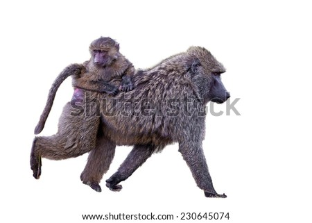 Female baboon with her baby, isolated on white background - stock photo