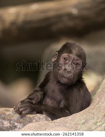 Female baby western lowland gorilla - stock photo