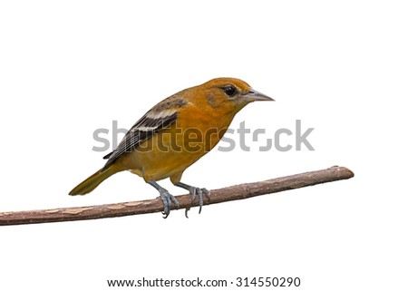 Female baltimore oriole perched on a branch, white background - stock photo