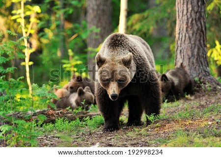 Female bear with cubs in forest - stock photo