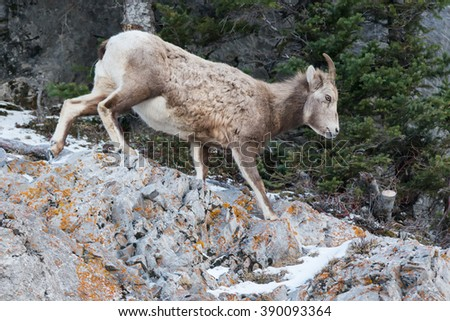 Female Bighorn Sheep jogging down a mountain path. - stock photo