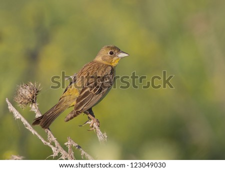 Female Black-headed Bunting (Emberiza melanocephala