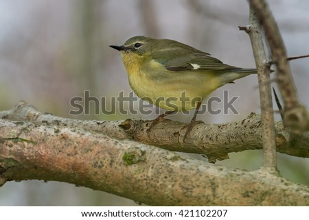 Female Black-throated Blue Warbler perched on a branch.