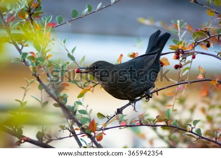 Female blackbird harvesting food - stock photo