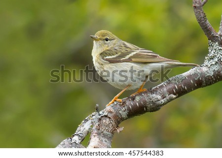 Female Blackpoll Warbler perched on a branch.