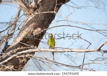 female blossom headed parakeet sitting on a tree - national park ranthambore in india - rajasthan - stock photo