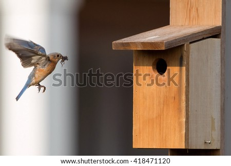 Female bluebird arriving at nesting box with food - stock photo