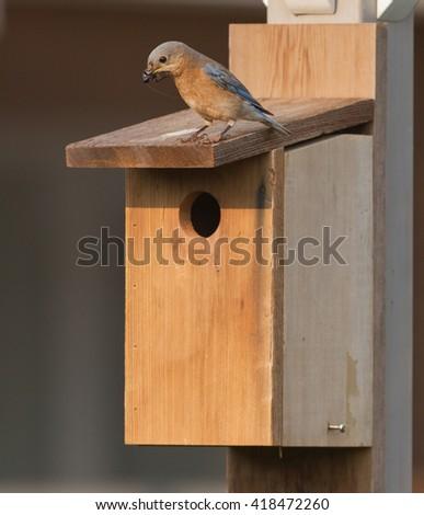 Female Bluebird at bird house. - stock photo