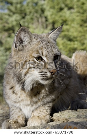 Female Bobcat in the woods - stock photo