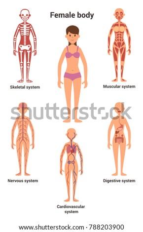 Female Body Human Anatomy Skeletal Muscular Stock Illustration