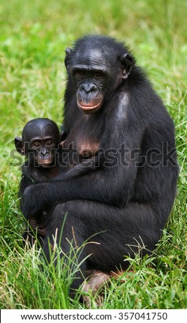 Female bonobo with a baby. Democratic Republic of Congo. Lola Ya BONOBO National Park. An excellent illustration.