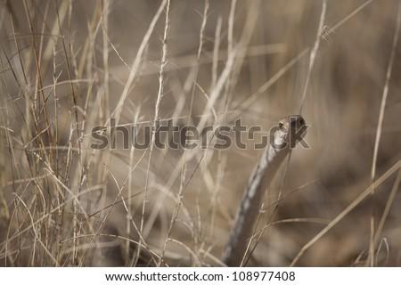 Female Boomslang - stock photo