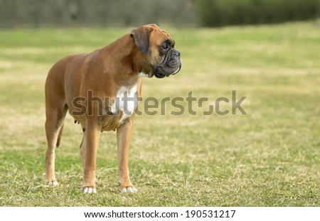 Female boxer dog outdoors in a park