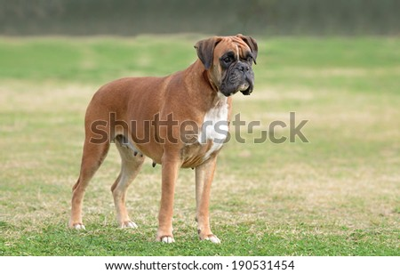 Female boxer dog outdoors in a park - stock photo