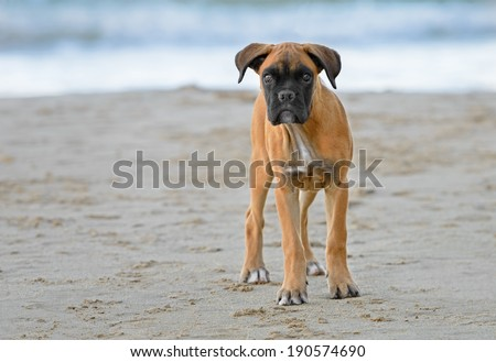 Female boxer puppy poses at the beach - stock photo