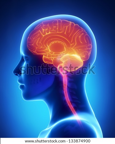 Female brain x-ray anatomy - stock photo