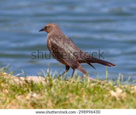Female Brewer's Blackbird (Euphagus cyanocephalus) foraging for food - stock photo