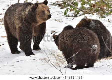 female brown bear with its two young animal