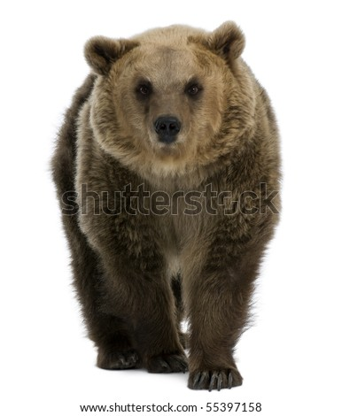 Female Brown Bear, 8 years old, walking against white background - stock photo