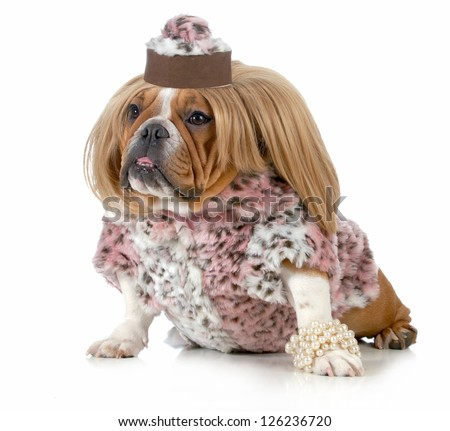 female bulldog wearing blonde wig and fur coat isolated on white background