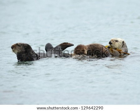 female california sea otter with her baby/infant and a male otter are seen in the kelp on a cold rainy day in big sur, california, united states - stock photo