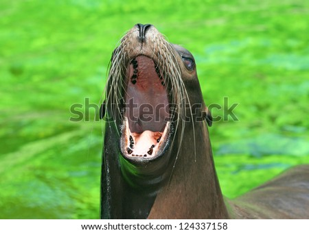 Female californian sealion with wide open mouth - stock photo