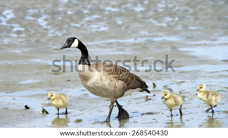 Female Canada goose, scientific name Branta canadensis, teaching her goslings how to find food along the drying up coastal wetland in California. - stock photo