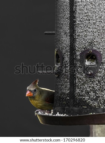 Female Cardinal bird on a backyard feeder - stock photo
