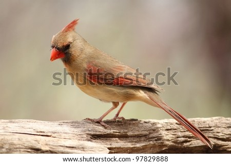 Female Cardinal perched on a log. - stock photo