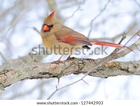 Female Cardinal perched on a tree branch in the winter.