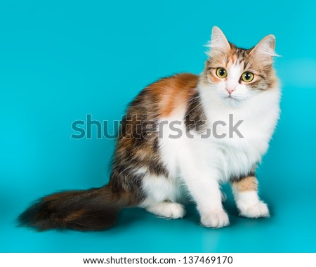 female cat Siberian breed, tricolor, black , red  and white colors of wool